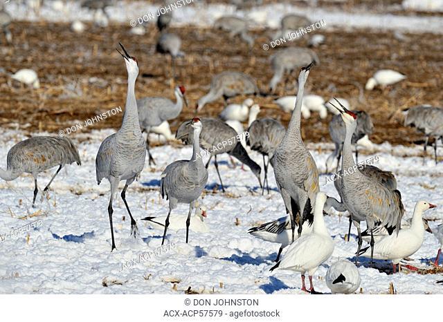 Sandhill Crane Grus canadensis Squabbling behaviour in grain fields, Bosque del Apache NWR, New Mexico, USA