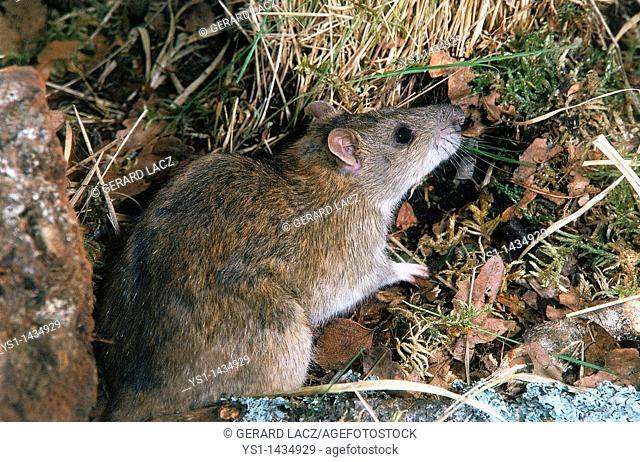 BROWN RAT rattus norvegicus, ADULT