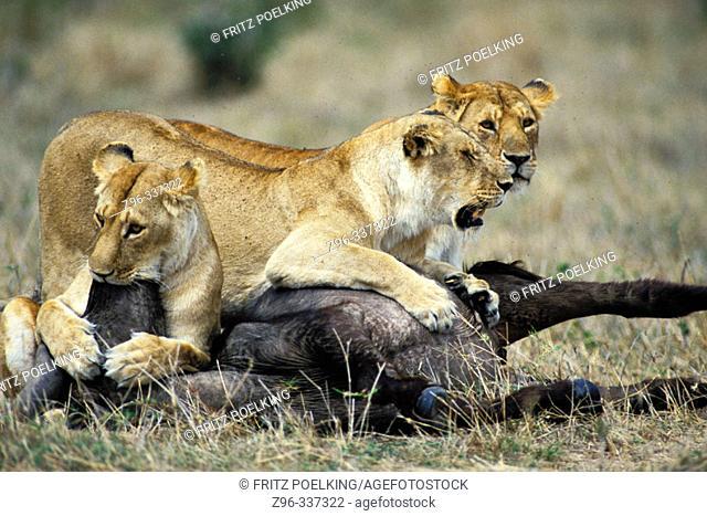 Lions (Panthera leo) kill buffalo. Masai Mara. Kenya