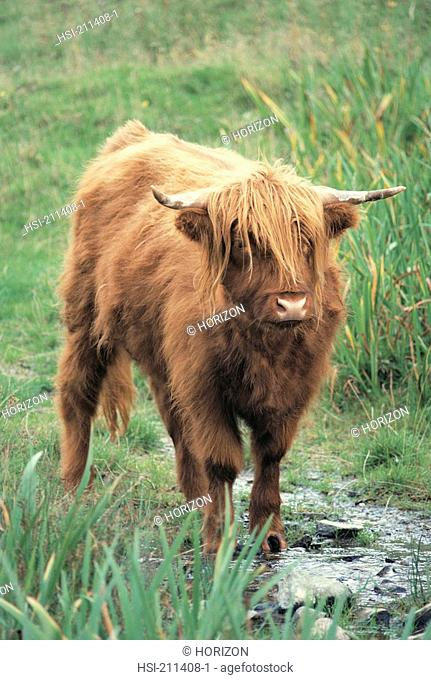 Front view of highland cattle, Scotland