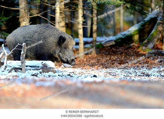wild boar, making a mess
