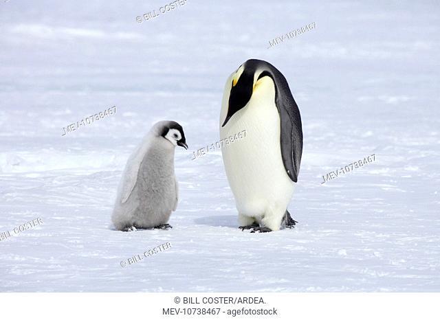 Emperor Penguin - Parent with Chick (Aptenodytes forsteri)