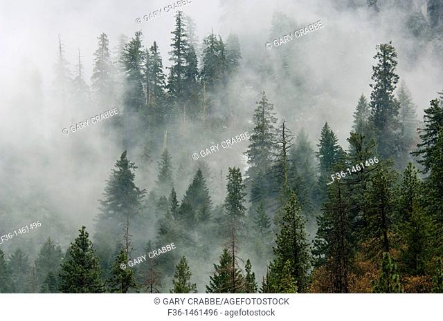 Pine Trees in clouds,Yosemite National Park, California