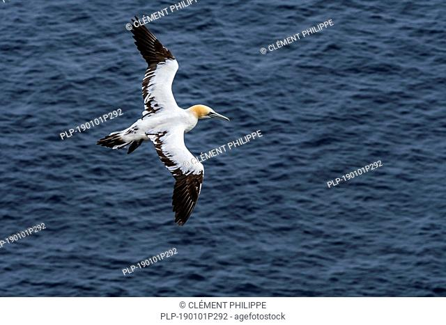 Immature Northern gannet (Morus bassanus) in flight soaring over the ocean along the Scottish coast, Scotland, UK