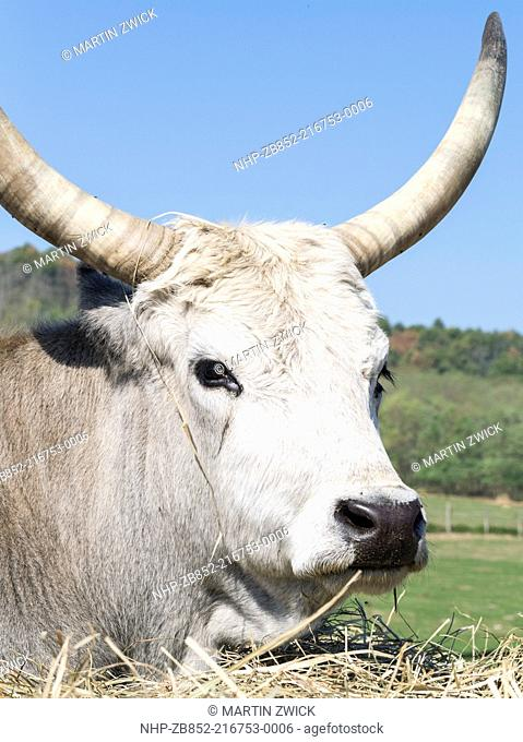 Hungarian Grey Cattle or Hungarian Steppe Cattle bos primigenus hungaricus, an old and hardy rare cattle breed Europe, Eastern Europe, Hungary, October