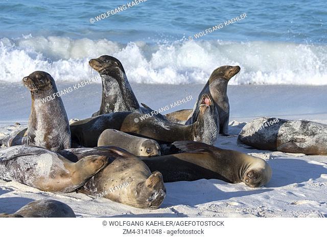 Galapagos sea lions (Zalophus wollebaeki) on a beach at Gardner Bay on Hood Island (Espanola Island) in the Galapagos National Park, Galapagos Islands, Ecuador