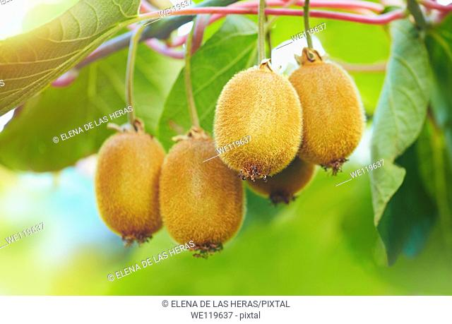 Kiwi fruits on the tree