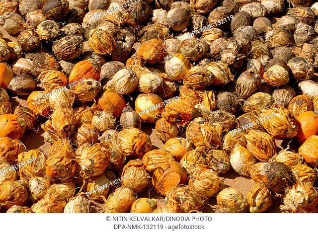 Betel nuts kept for drying , Harihareshwar , District Raigad , Konkan region , Maharashtra , India