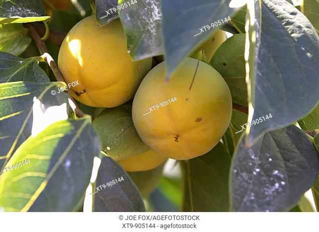 group bunch of yellow persimmon growing on a tree in a garden in Tenerife Canary Islands Spain