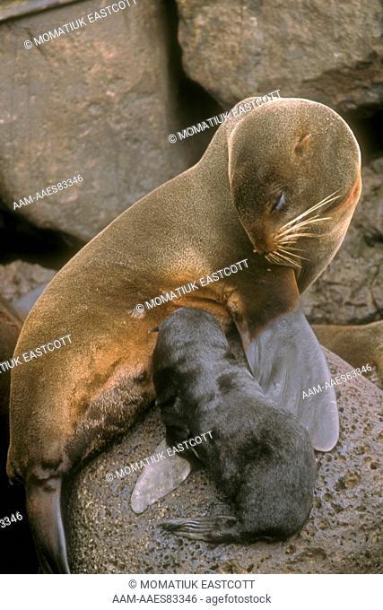 N. Fur Seal nursing Pup (Callorhinus ursinus), St Paul Isl., Pribilofs, AK