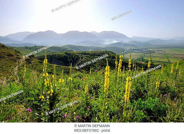 Albania, Vlore County, near Saranda, orange mulleins, Verbascum phlomoides