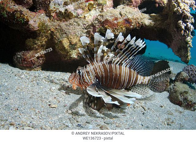 frillfin turkeyfish (Pterois mombasae) swims near coral reef, Red sea, Marsa Alam, Abu Dabab, Egypt