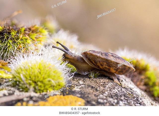 Lapidary snail (Helicigona lapicida, Chilotrema lapicida, Latomus lapicida), creeps on a rock with moss, Germany, Bavaria, Niederbayern, Lower Bavaria