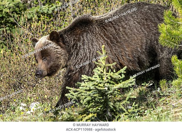 Grizzly Bear Female (Ursus arctos horribilis) Full body shot of female grizzy walking thru the woods, showing distinct hump