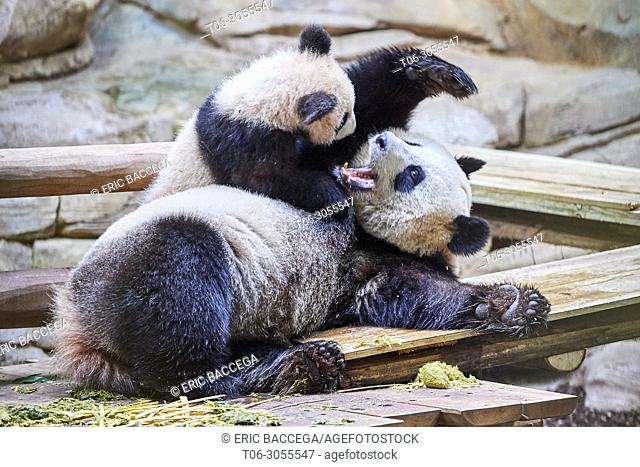Giant panda female Huan Huan playing with her cub (Ailuropoda melanoleuca). Yuan Meng, first giant panda ever born in France, is now 8 months old