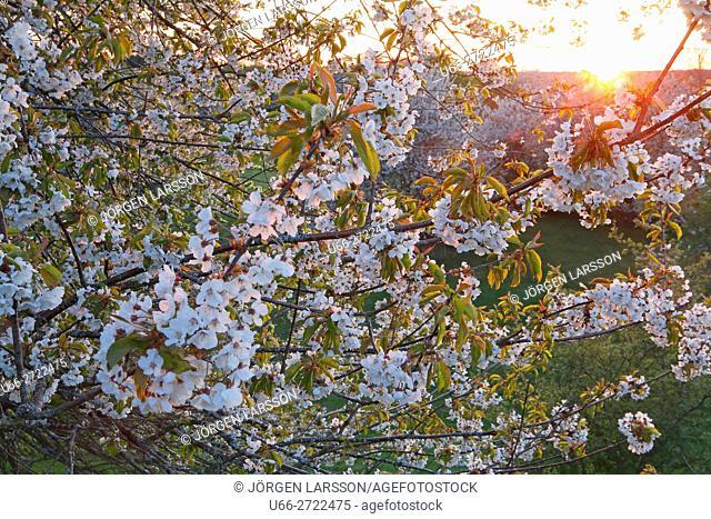 Sweden, Vastergotland, Billingen, Blooming tree at sunset