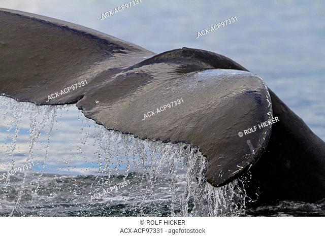 Humpback Whale tail close up with water running off, Knight Inlet, British Columbia, Canada