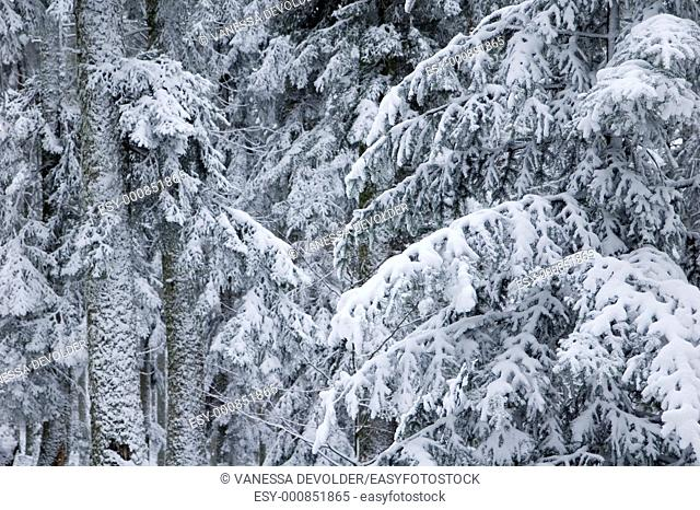 Trees covered with snow  Location: France, Vosges