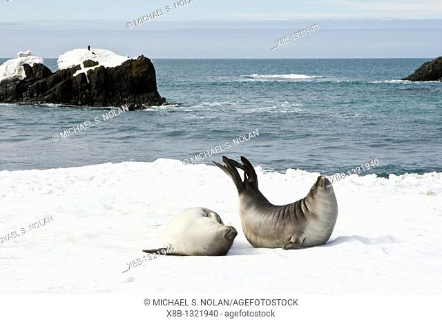 Newborn southern elephant seals Mirounga leonina on the beach at President Head on Snow Island in the South Shetland Island Group