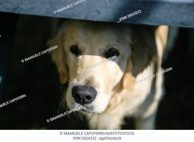 golden retriever peeking out the door