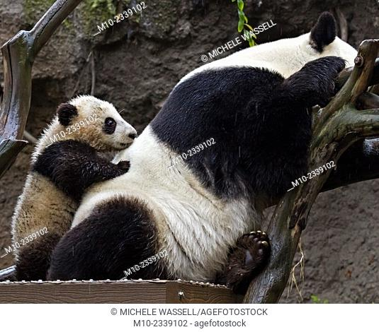 Young Giant Panda standing up using mom to lean on