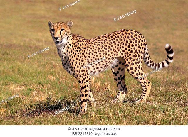 Cheetah (Acinonyx jubatus), adult, standing alert, South Africa, Africa