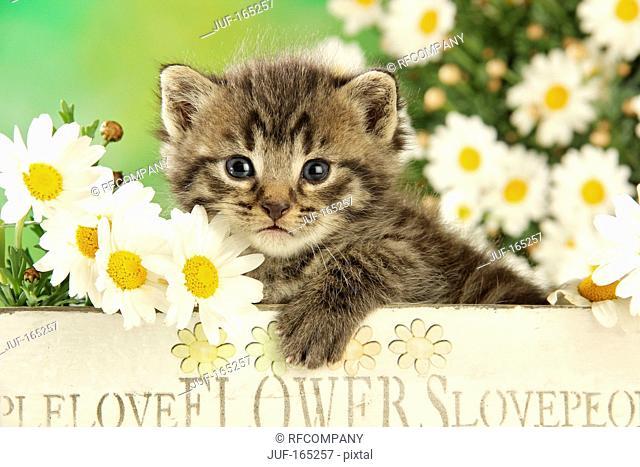 domestic cat - kitten 24 days next to flowers