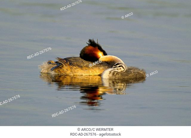 Great Crested Grebe with chick, Netherlands / Podiceps cristatus