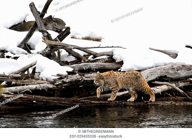 a bobcat walking and stalking over dead logs and hunting along the creek
