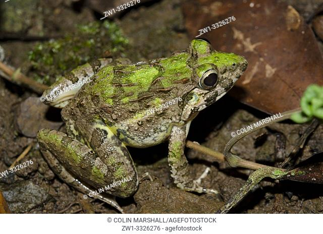 Paddy Frog (Fejervarya limnocharis, Dicroglossidae family aka Boie's Wart Frog, Rice Field Frog, and Asian Grass Frog), Klungkung, Bali, Indonesia
