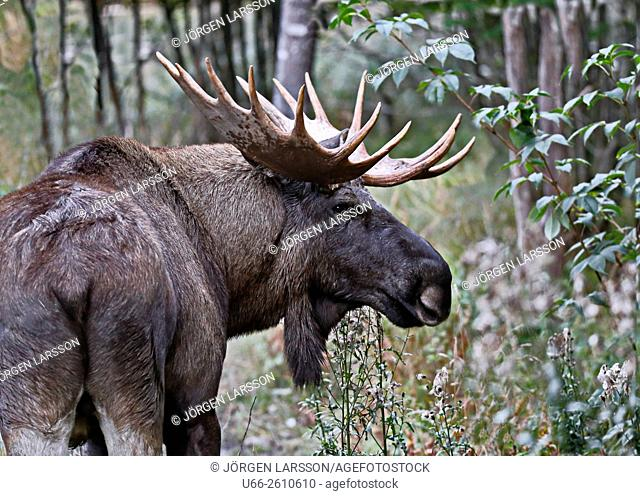 Moose Bull, Gnesta, Södermanland, Sweden