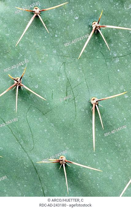 Cactus prickles Opuntia spec