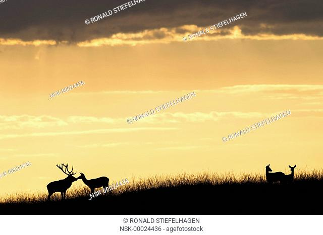 Red Deer (Cervus elaphus) master stag and hind standing closely together on a hilltop against a sunset sky with two more hinds at the side, The Netherlands