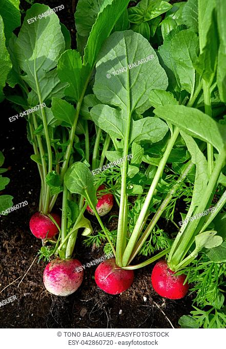 Radishes harvest in an orchard at urban garden radish plants