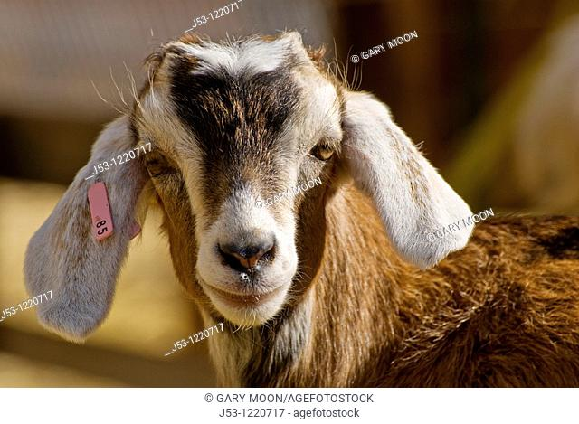 Close up of young goat