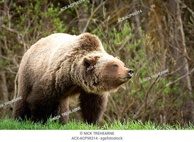 Ursus arctos horribilis, Grizzly bear, rocky mountains, Alberta, Canada
