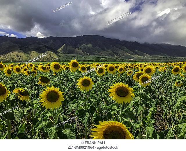 The blanket of yellow sunflowers all bend in the direction of the sun, standing at attention on land between the Kuihelani Highway and the Honoapi?ilani Highway...