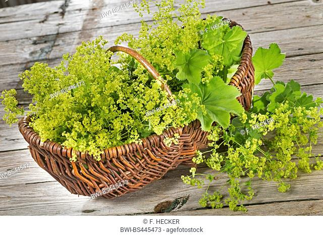 ladys mantle (Alchemilla mollis), collected floers and leaves in a basket, Germany