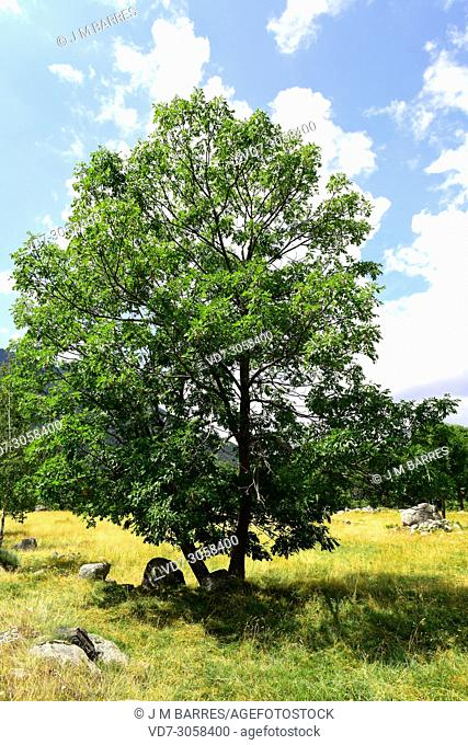 European ash (Fraxinus excelsior) is a deciduous tree native to Europe and west Asia. This photo was taken in Valle de Aran, Lleida Pyrenees, Catalonia, Spain