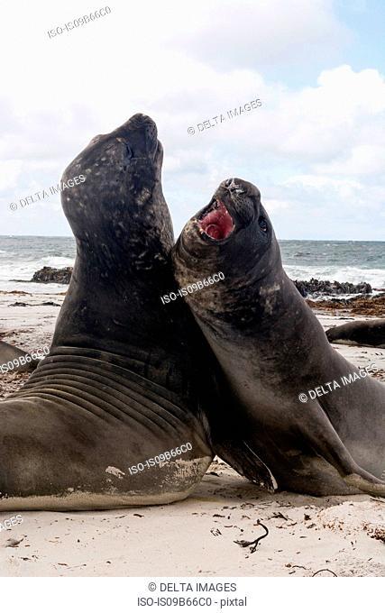 Southern elephant seals (Mirounga leonina), fighting, Port Stanley, Falkland Islands, South America