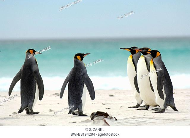 king penguin (Aptenodytes patagonicus), group of penguins walking over the beach to the sea, Falkland Islands, Volunteer Point