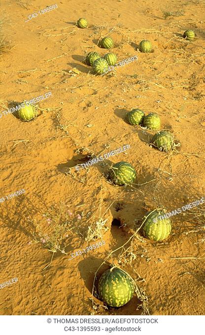 Tsamma Citrullus lanatus - Source of food and water for all kinds of animals  Green colour indicates the young fruit  Kalahari Desert