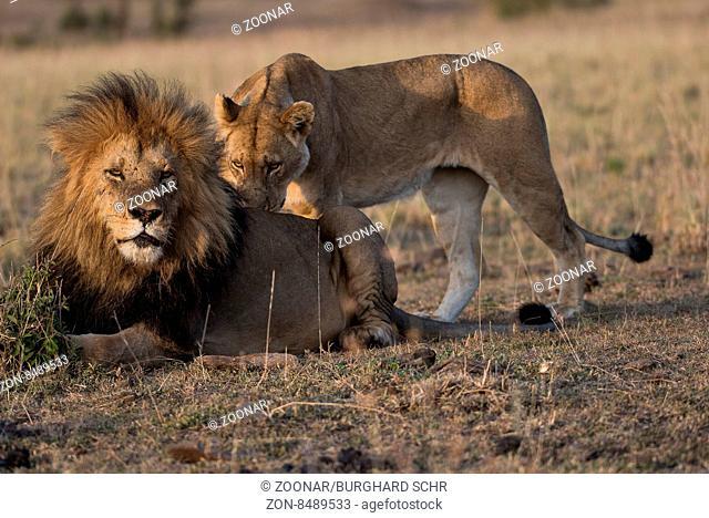 African Lion (Panthera leo). Kenya