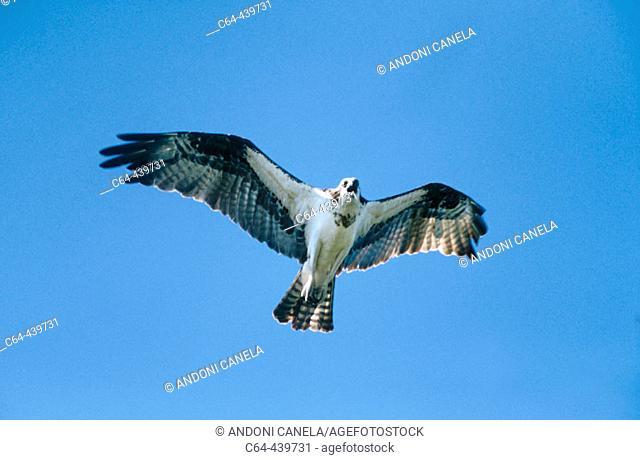 Osprey (Pandion haliaetus). Yucatan peninsula. Mexico