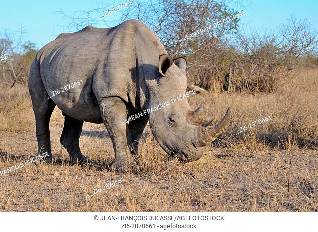 White rhinoceros or Square-lipped rhinoceros (Ceratotherium simum), adult male feeding on dry grass, Kruger National Park, South Africa, Africa