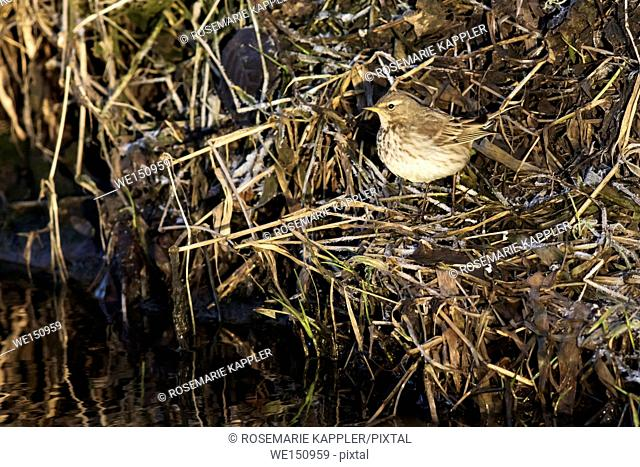 germany, saarland, Homburg - A water pipit on the riverside