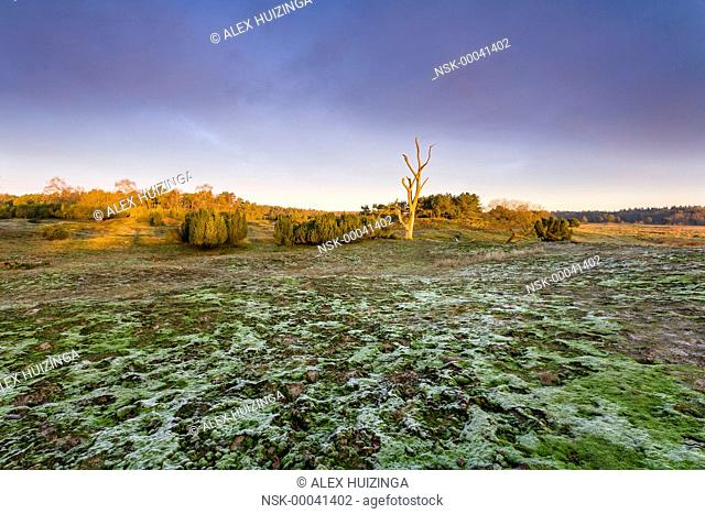Flat with Common Juniper (Juniperus communis), moss and dead tree, The Netherlands, Overijssel, Vecht, Junner Koeland