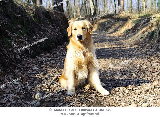 Golden retriever in the woods on the trail