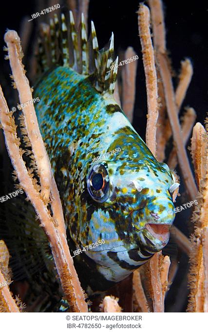 Dark rabbit fish (Siganus luridus) in night coloration under protection of corals, Lembeh Strait, Sulawesi, Indonesia