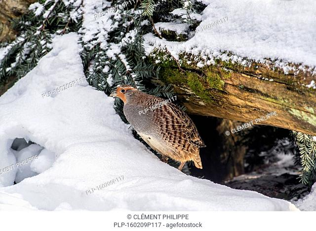 Grey partridge / English partridge (Perdix perdix) female leaving shelter under log in the snow in winter during freezing cold weather